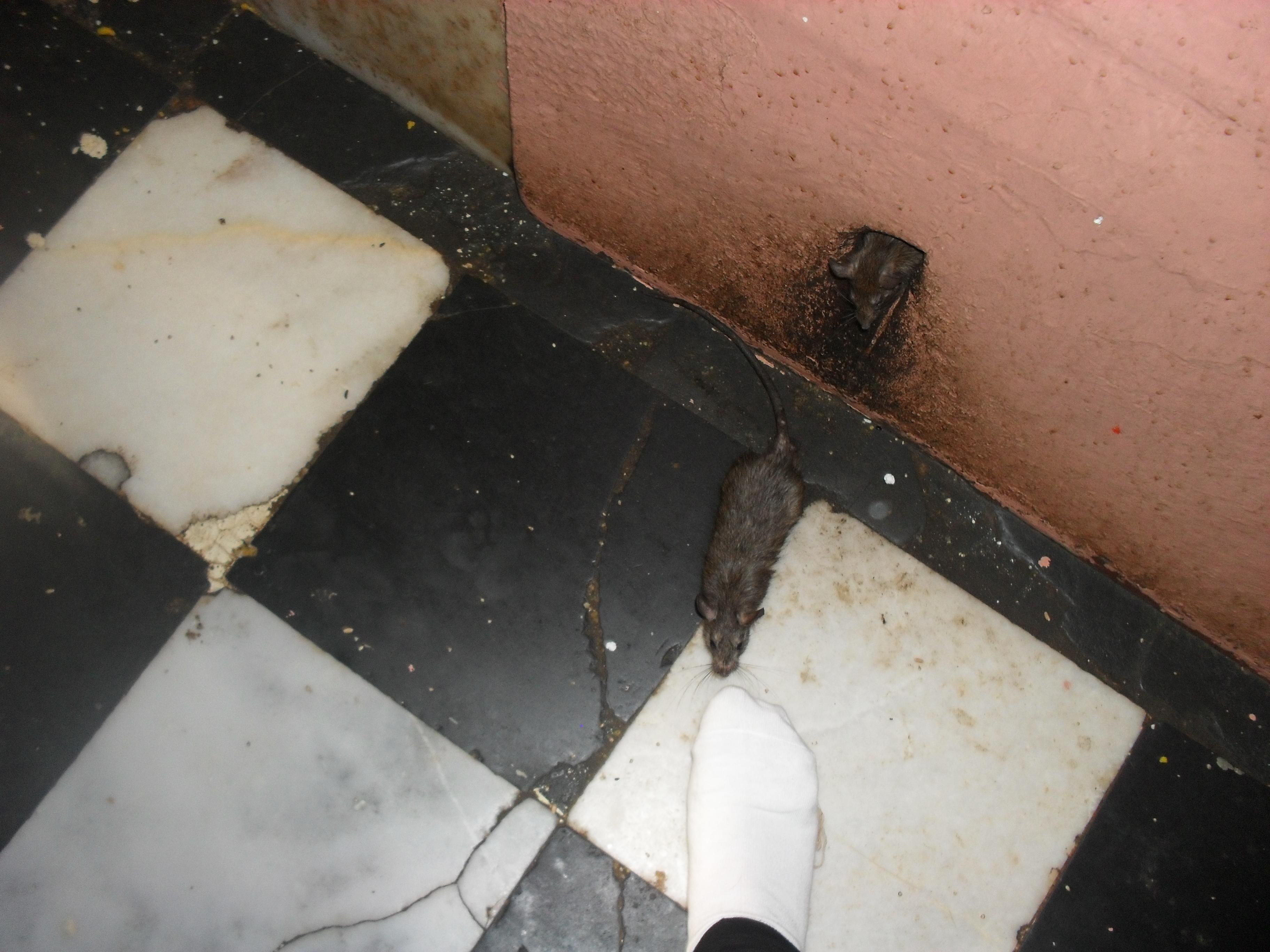 le temple de karni mata des souris et des vaches a message to india. Black Bedroom Furniture Sets. Home Design Ideas