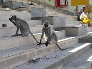 Monkeys on the ghats of Pushkar