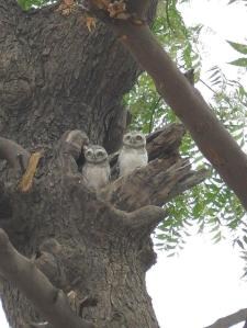 Owls in Mandawa Copyrights Marilay