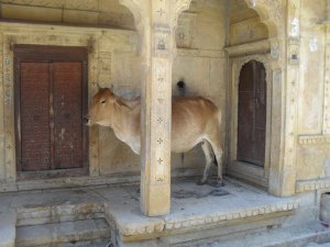Cow in Jaisalmer