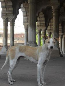 Double colour-eyed dog in Agra's Red Fort