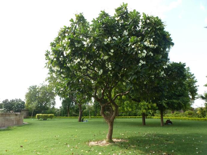 Banyan tree in the park